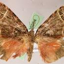 Image of <i>Deinoptila penicula</i>