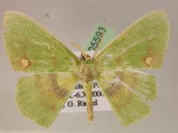 Image of <i>Rhodochlora brunneipalpis minor</i> Warren 1909