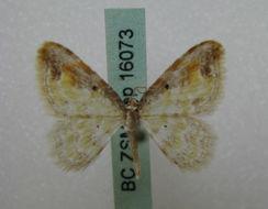 Image of <i>Acolutha pictaria</i> Moore 1888