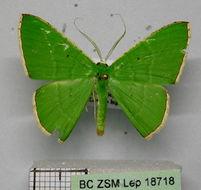 Image of <i>Ornithospila bipunctata</i> Prout 1916