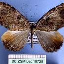 Image of <i>Photoscotosia propugnataria</i> Leech 1897