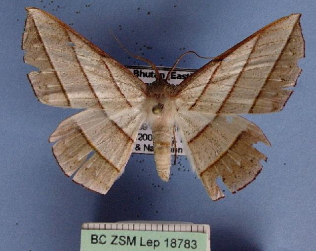 Image of <i>Sarcinodes aequilinearia</i> Walker 1860