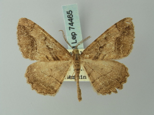 Image of <i>Alcis subrepandata</i> Staudinger 1892