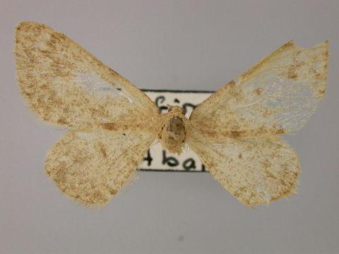 Image of Gnophosema
