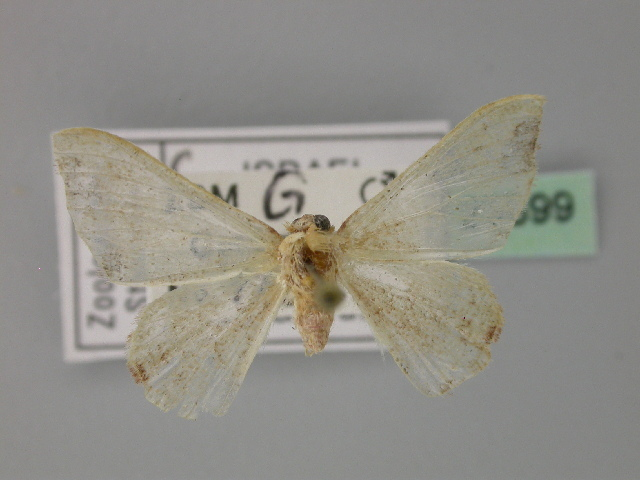 Image of Drosophila Victoria group