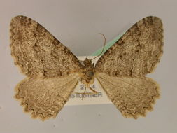 Image of <i>Hydria gudarica</i> (Dufay 1983) Dufay 1983