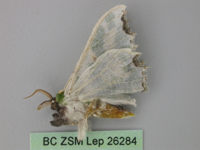 Image of <i>Victoria albithorax</i>