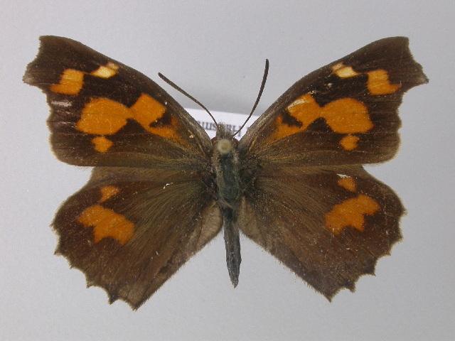 Image of <i>Libythea celtis</i> Fuessly 1782