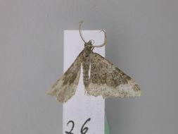Image of <i>Coenotephria florianii</i>