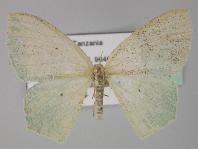 Image of <i>Prasinocyma leucopis</i> Prout 1922