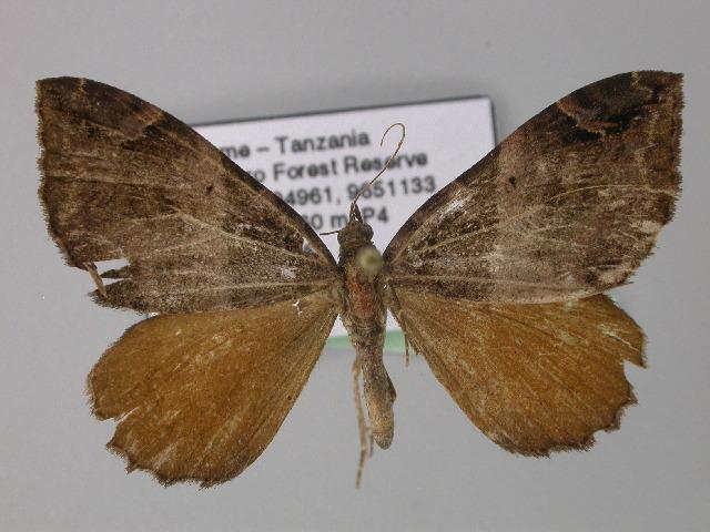 Image of Ecpetala