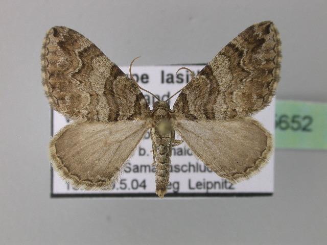 Image of <i>Pareulype lasithiotica</i> Rebel 1906