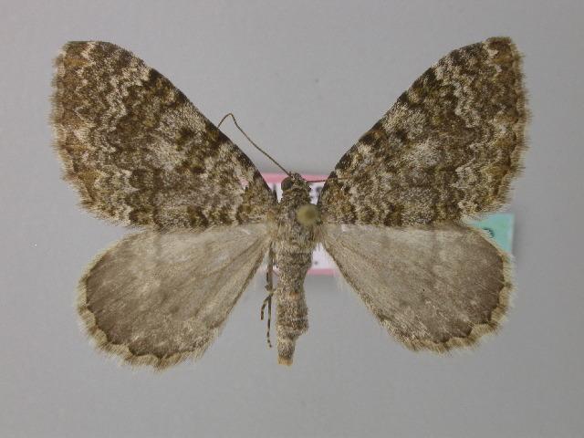 Image of <i>Euphyia frustata griseoviridis</i> Kitt 1926