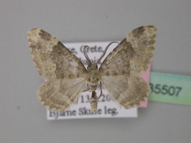 Image of <i>Coenotephria schneideraria eteocretica</i>