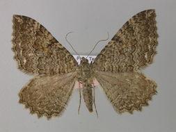 Image of <i>Hydria montivagata</i> (Duponchel 1830) Duponchel 1830