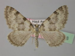 Image of <i>Pareulype casearia</i> (Constant 1884) Constant 1884