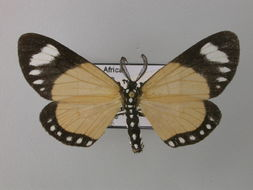 Image of <i>Cartaletis libyssa</i> Hopffer 1857