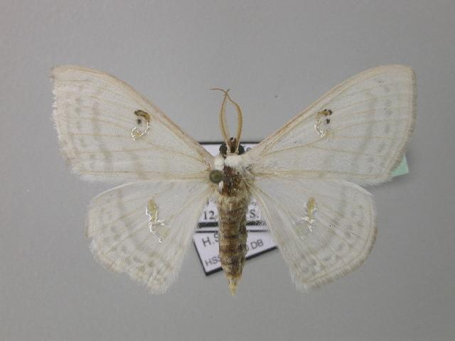 Image of <i>Problepsis flavistigma</i> Swinhoe 1904
