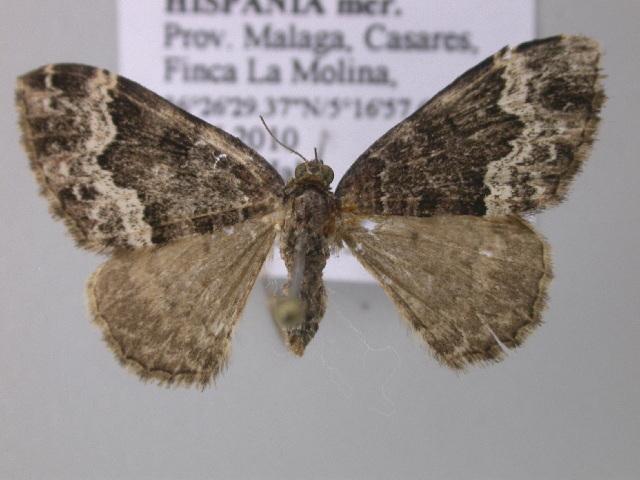 Image of <i>Euphyia vallantinaria</i> Oberthür 1890