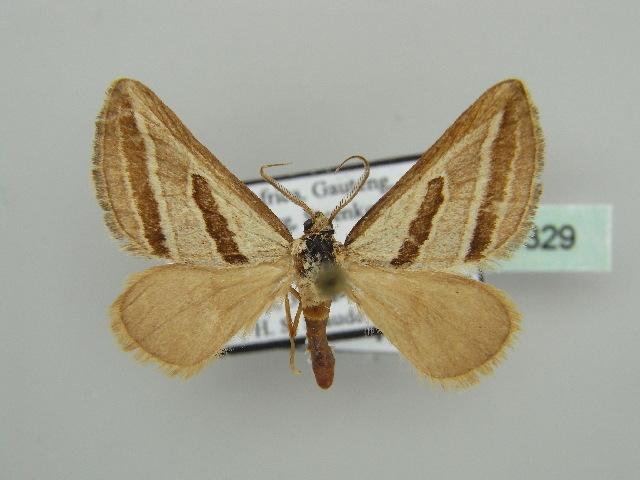 Image of Conchylia