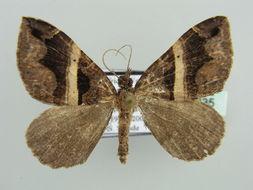 Image of Gonanticlea