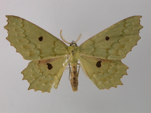 Image of Chlorodontopera