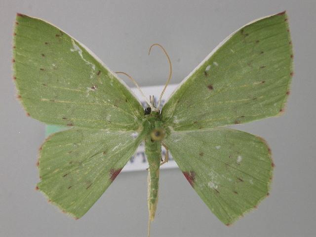 Image of Oenospila