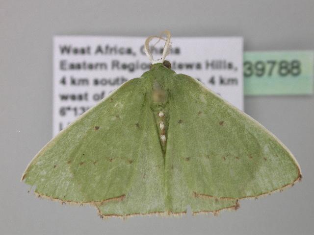 Image of Adicocrita