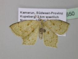 Image of Lathochlora