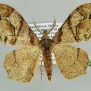 Image of Dasymacaria