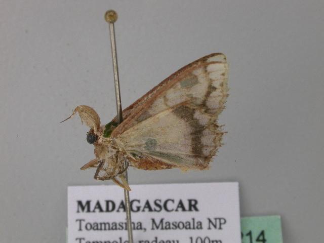 Image of <i>Archichlora trygodes</i> Prout 1922