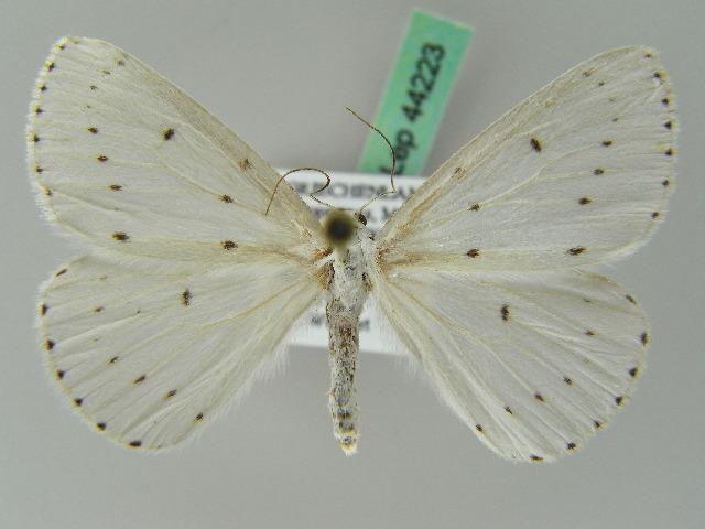 Image of <i>Orthostixis cribraria</i> Hübner 1796