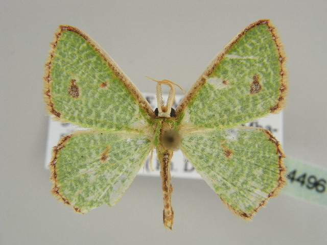 Image of Euproutia