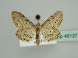 Image of <i>Idaea atlantica</i> Stainton 1859