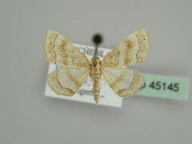 Image of <i>Idaea circuitaria</i>