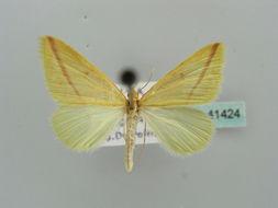 Image of Rhodometra