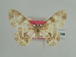 Image of <i>Cleora atypica</i> Herbulot 1995