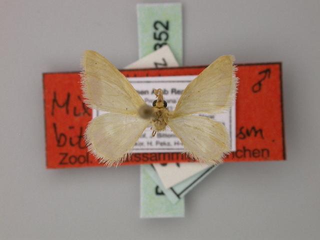 Image of <i>Mixocera bittermanni</i>