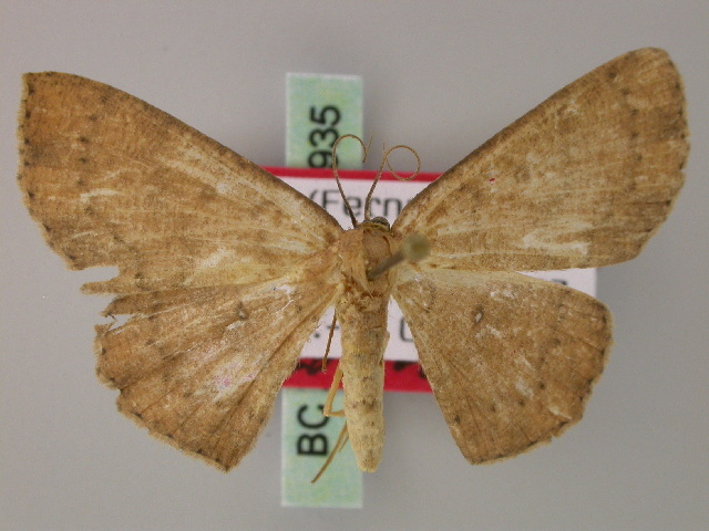 Image of <i>Ptomophyle inflexa</i> Herbulot 1998