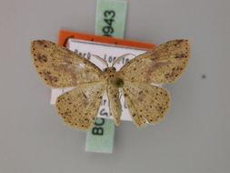 Image of <i>Cyclophora couturieri</i> Herbulot 1993