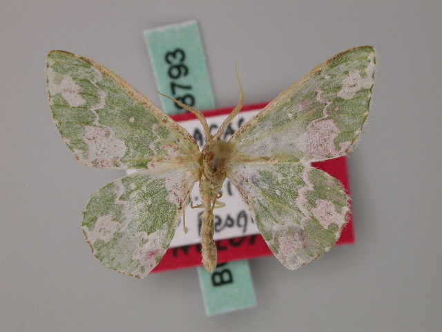 Image of <i>Archichlora tenera</i> Herbulot 2000