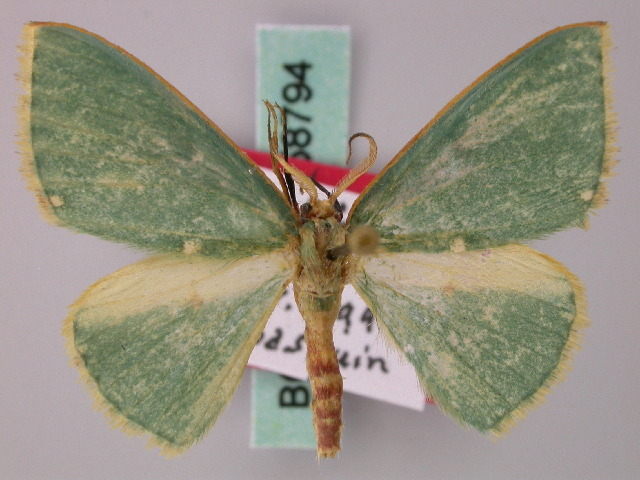 Image of <i>Archichlora basquini</i> Herbulot 2000