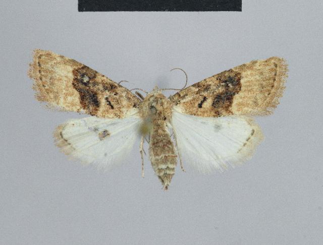 Image of <i>Nola squalida</i> Staudinger 1870
