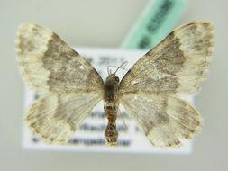 Image of <i>Coenotephria schneideraria</i>