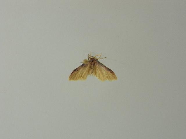 Image of <i>Idaea umbricosta</i> Prout 1913