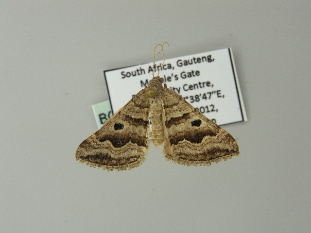 Image of <i>Pseudolarentia megalaria</i> Guenée 1858