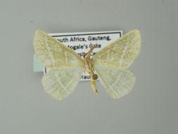 Image of <i>Acollesis fraudulenta</i> Warren 1898