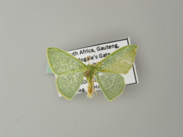 Image of <i>Neromia rubripunctilla</i> Prout 1912