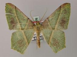 Image of <i>Geometra orhanti</i>