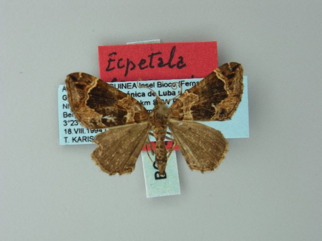 Image of <i>Ecpetala transgressa</i>